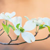 Flowering Dogwood_0428