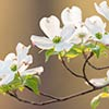 Flowering Dogwood_0453