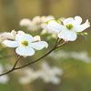 Flowering Dogwood_0626