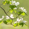 Flowering Dogwood_0652